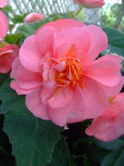 Tuberous Begonia (bill barber) Tags: pink light red orange plants white ontario canada flower southamerica water yellow garden bill or salmon william double container patio southern pot shade single elements barber porch begonia begoniaceae peel ornamental mississauga planter region plain dappled shady indirect moist shaded photoshopelements southernafrica ruffled toothed tuberous streetsville hangingbaskets billbarber angiosperm beddingplant wdwbarber welldrained williambarber bbarber1 bbarber protectedfromwind heavyfeeder balancedfertilizer