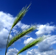 Wild Barley (tina negus) Tags: sky grass barley clouds lincolnshire coolest breathtaking wildgrass naturesquare firsttheearth wowiekazowie onenesslabyrinth ishflickr exploreunexplored platinumheartsaward flickrextraordinarycapture excapture