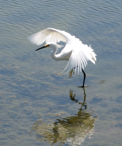 Snowy egret flaps its wings