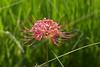 早咲きのヒガンバナ