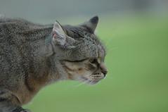 Ja t'he vist... (visol) Tags: cat gata chatte mixa naturesfinest tickedtabby kissablekat bestofcats thebiggestgroupwithonlycats