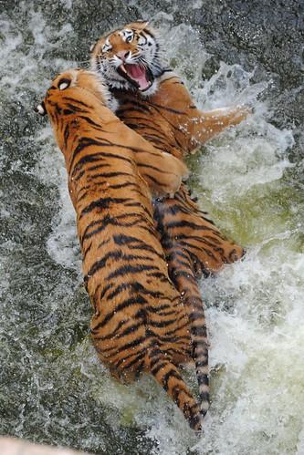 Мокрая борьба тигров