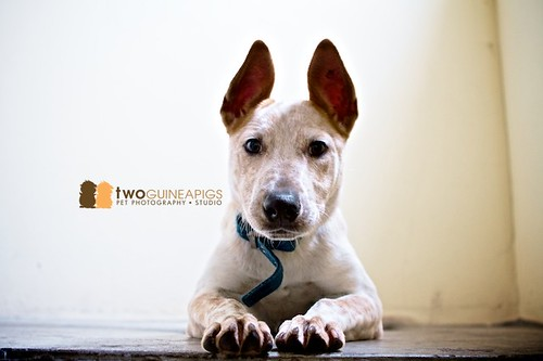 twoguineapigs pet photography australian cattle dog pet portrait