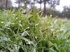 همآغوشی چمن و شبنم (shadi13se) Tags: ، باران پاییز سبزه چمن شبنم یهار