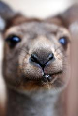 kangaroo (floridapfe) Tags: nature face animal zoo korea kangaroo everland