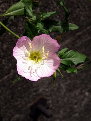 #5177 evening primrose () or showy evening primrose () (Nemo's great uncle) Tags: flower tokyo evening flora   oenothera primrose eveningprimrose stricta  setagayaku oenotherastricta tky tamagawadai