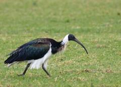 Straw-necked Ibis (maureen_g) Tags: ocean sea bird nature wildlife australia nsw centralcoast theentrance