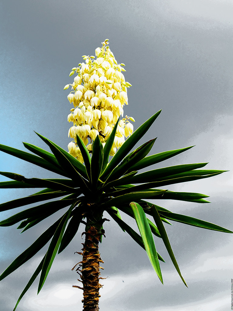 Another Yucca in Bloom
