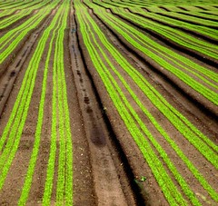 Lettuce field (tina negus) Tags: brown green field lincolnshire minimalism coolest marston lettucefield 25faves dissymmetry dissymetry anawesomeshot artoflandscape firsttheearth wowiekazowie ishflickr exploreunexplored zenenlightenmentgroup artevokesemotion alohafroup 50earthfaves