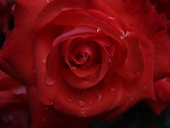 Rose In The Rain - by Limbo Poet