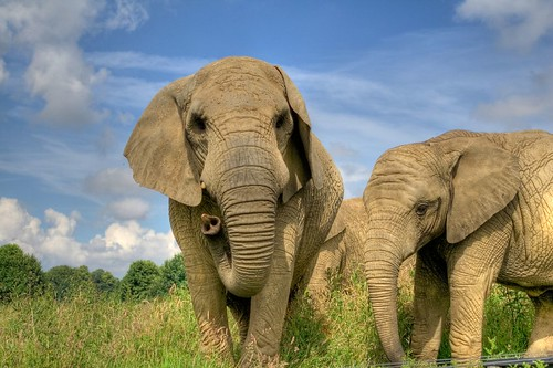 Elephants HDR