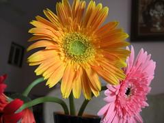 Mumbai Flowers (Swami Stream) Tags: flowers india vivid mumbai acres coolest ~ swami swaminathan dosti masterphotos impressedbeauty superbmasterpiece wowiekazowie flowerpicturesnolimits macrophotosnolimits ysplix swamistream swamistreamcom