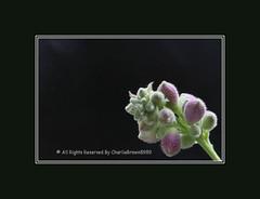 Romance of Fogs & Flowers - 像雾又像花