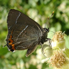 White-letter Hairstreak - Satyrium w-album -Victim of theft! (Camerar) Tags: white butterfly blues insects greece letter buttterflies hairstreaks satyriumwalbum whiteletterhairstreak