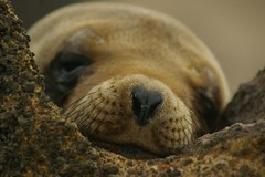 Sea Lion Baby 2 (Verdict1st (Sells Pictures)) Tags: sea baby nose infant lion galapagos finest natures naturesfinest