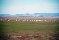 more livestock on the lake