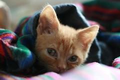 tucked up (Adam Greig) Tags: kitten kitty zeb