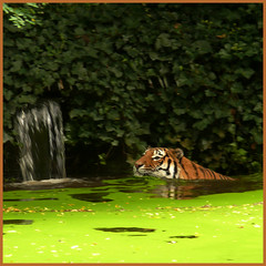 Z = ZOO (Tiger's pool is like green soup) (Frizztext) Tags: camera pool germany square lumix zoo interestingness tiger panasonic explore galleries duisburg dictionary breathtaking naturesfinest 500x500 sept13 100faves frizztext abigfave shieldofexcellence panasonicdmcfz50 anawesomeshot impressedbeauty ysplix theunforgettablepicture theperfectphotographer happinessconservancy 20070913