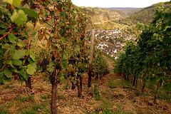 Blick auf Dernau (Exposer) Tags: wandern dernau weintrauben ahrtal rech rotweinwanderweg