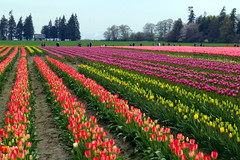 As Far As The Eye Can See. (musicman67) Tags: flowers usa flower washington tulips pentax vivid tulip pacificnorthwest skagit washingtonstate skagitvalley skagitvalleytulipfestival tulipfestival themoulinrouge colorphotoaward vividmasters artlegacy colourartawards thebestvivid goldenmermaidqueue colorphotoawardgold elitephotograpy pentax2ndattempt deniedtwicedone deniedbyppg