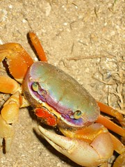 Don't be Crabby (claracluc) Tags: orange green bigeyes sand purple bright crab jamaica colourful claws