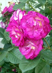 Roses_61810c