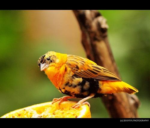 Orange Bishop Weaver Finch (Euplectes orix francisciana)