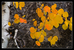 Aspen (jeandayphotography.com) Tags: ca trees fall colors leaves forest october rocks aspen sierranevada bishop 2010 jday easternsierranevada bishopcreekcanyon jeanday