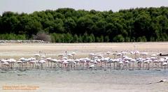 flamingoes.jpg (Naseer Ommer) Tags: dubai uae mangrove touristdestinations avianfauna rasalkhorbirdsanctuary naseerommer emiratesnaturalhistorygroup birdsofuae
