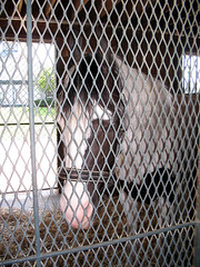 Marwari Kentucky Horse Horse (Just chaos) Tags: from horse view you photos or everyone ungulate animalia mammalia pinto equus domesticated equidae equuscaballus chordata perissodactyla kentuckyhorsepark oddtoed oddtoedungulate malarwihorse caballusx
