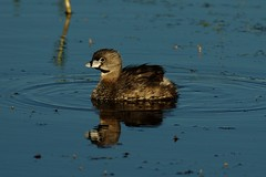 Pied-billed Grebe 6-18-2007 - by Passerine