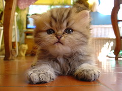 Like the Sphinx (catherine.caf) Tags: cat persian kitten chat chaton persan splendiferous cc300 cc200 cc100 abigfave bestofcats superbmasterpiece brillianteyejewel