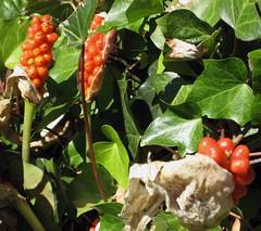 arum italicum berries