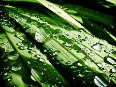 Drop Shadow (londonrubbish) Tags: uk england green water garden kent droplet lush