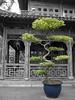 Tree (shutterBRI) Tags: china city travel gardens canon cutout garden photography photo shanghai chinese 2006 tourist powershot historic prc yuyuangarden yuyuan a630 selectivecolorization shutterbri brianutesch brianuteschphotography