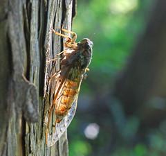 Evening Cicada 02 - by autan