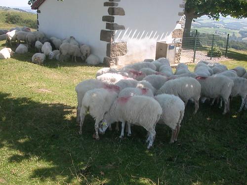 Schafe im Standby-Modus