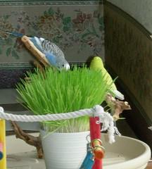 DSCN1425 (PhotoPieces) Tags: bird budgie parakeet ilovebirds