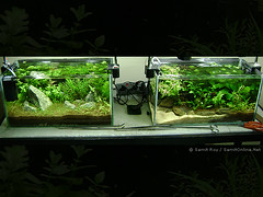 Two Nanos (Aqua Samit) Tags: plants india fish plant green nature water roy leaves rock garden layout aquarium design leaf aqua underwater tank stones bangalore creative driftwood fishtank tropical greenery consultant aquatic freshwater aquascape planted consultancy samit aquaticgarden freshwateraquarium aquascaping aquarist samitroy