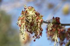 Biene am Eschen-Ahorn (Acer negundo) (blumenbiene) Tags: flowers tree spring bee honey acer pollen baum biene frühling blüten ahorn honigbiene negundo eschenahorn