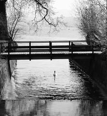 canal de Zrichsee (David A Crdova M) Tags: bw naturaleza rio puente arbol photography canal photo foto shot picture bn contraste zrich fotografia amateur cisne davidcordova deividcordova