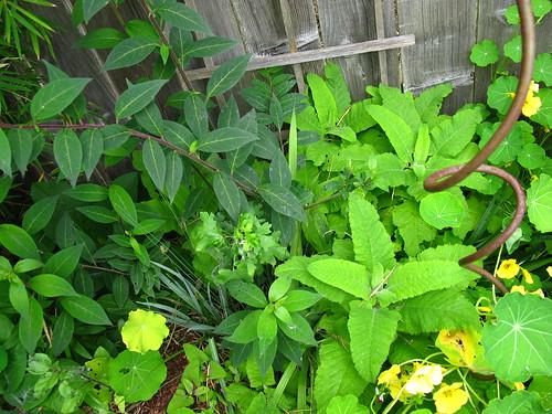 Cestrum elegans, Salvia spathacea