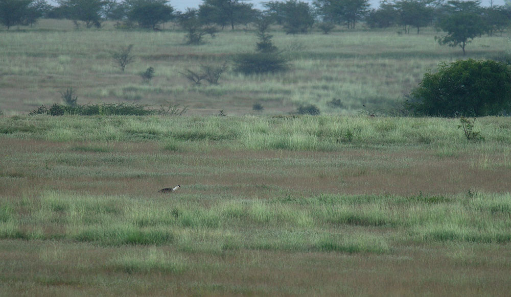 Great Indian Bustard and its Habitat