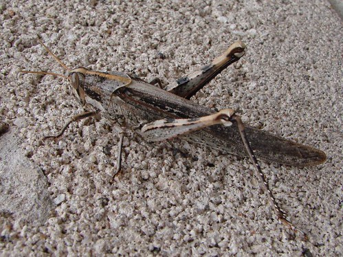"grasshopper • <a style=""font-size:0.8em;"" href=""http://www.flickr.com/photos/10528393@N00/539019384/"" target=""_blank"">View on Flickr</a>"