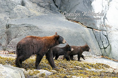 Bears on Rocks