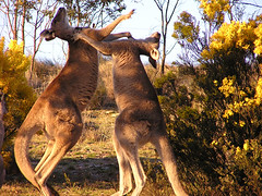 Kangaroo-fight
