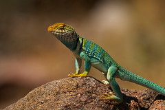 Eastern Collared Lizard  0393 (Eric Wengert Photography) Tags: colorado naturesfinest collaredlizard crotaphytuscollaris assignment19