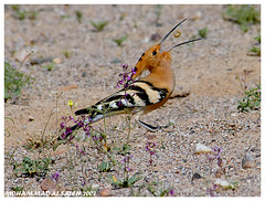 Hoopoe Bird (MOHAMMED AL-SALEH) Tags: parkstock 10faves aplusphoto