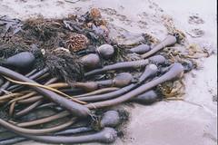 seaweed bulbs (judith) Tags: fortfunston