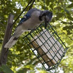 Blue Jay By Pooleworks Roger